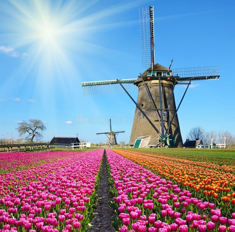 Fabelhafte Landschaft des Mühlwinds und -tulpen in Holland auf einem sonnigen stockfotos