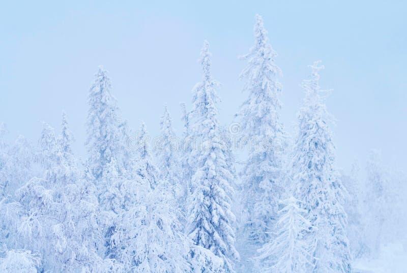 Fabelhafter Weihnachtswinterwald bei Sonnenuntergang, alles wird mit Schnee bedeckt Kiefer und gezierte Bäume bedeckt im Schnee b stockbilder