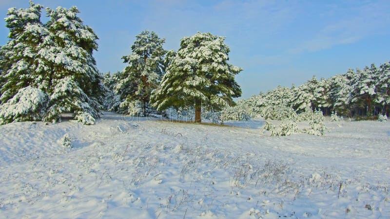 Fabelhafter Winterwald, Schneesturm im Kiefernwinterwald, Blizzard im Wald, Forest Trees In Snow Storm lizenzfreies stockfoto