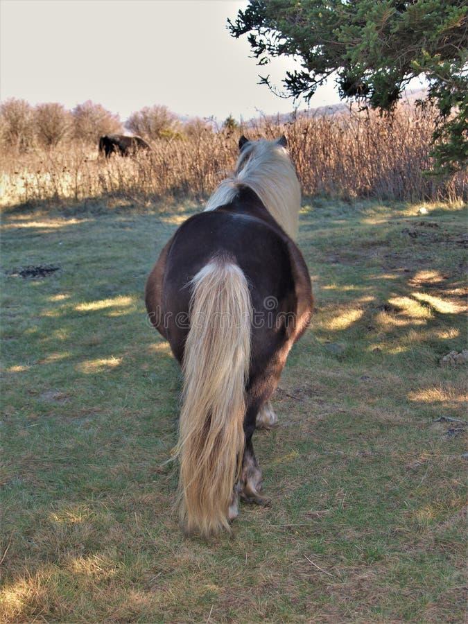 Fabio дикий пони стоковое фото rf