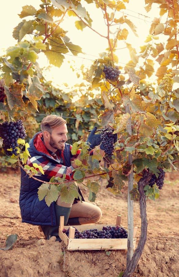 Fabricante del vino que escoge las uvas negras en viñedo fotografía de archivo libre de regalías
