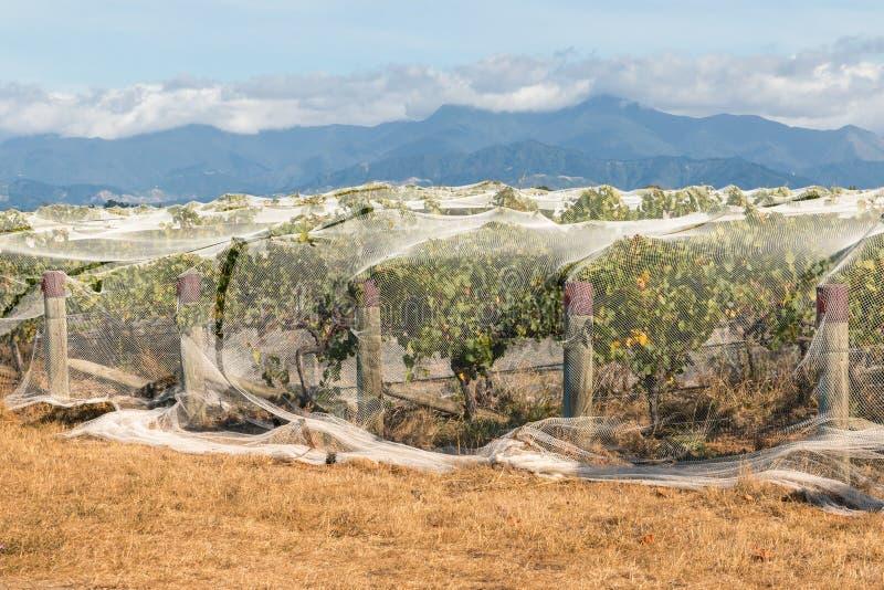 Fabrication protectrice couvrant les raisins mûrs dans le vignoble photographie stock