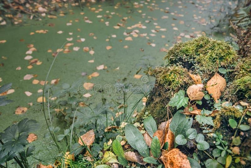 Fabuleux fond d'automne d'eau recouverte d'étain vert ; feuilles mousses et jaunes; grand plan photo libre de droits