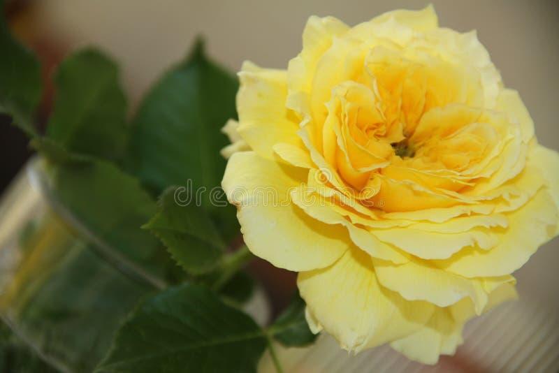 Fabuloso subió en amarillo fotografía de archivo libre de regalías