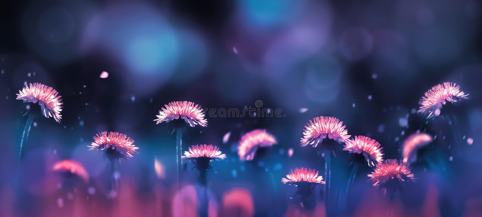 Fabulous amazing bright pink dandelions on a blue and purple background in the rays of light. Summer background. Free space for text. Banner royalty free stock photos