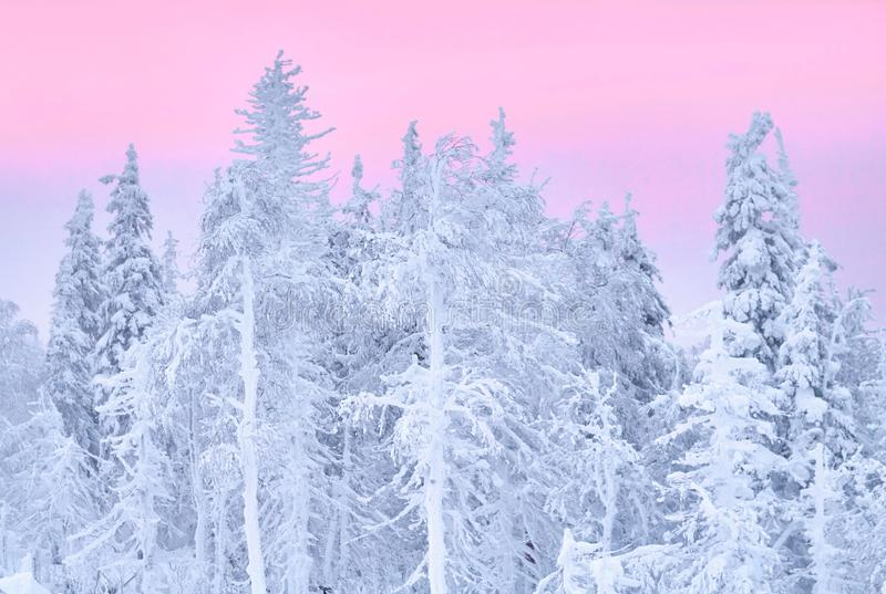 Fabulous Christmas winter forest at sunset, everything is covered with snow. Pine and spruce trees covered in snow. Blizzard royalty free stock photo