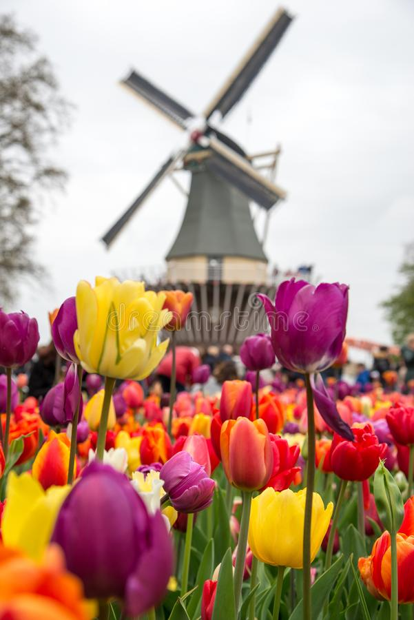 Fabulous landscape of Mill wind and tulips in Holland royalty free stock photography