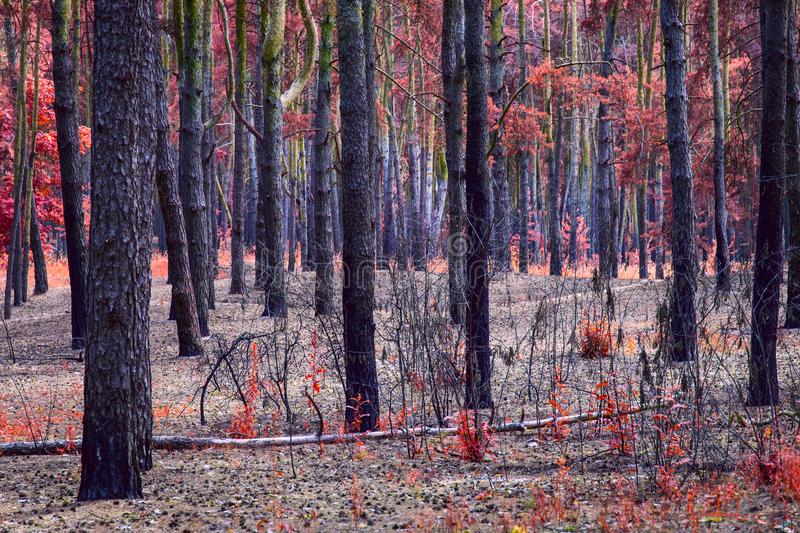 Fabulous pine forest with a bright autumn color royalty free stock photography
