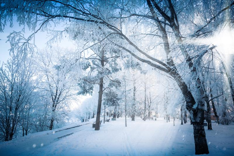 The fabulous radiance of lateral sunlight through the branches of snowy trees royalty free stock image
