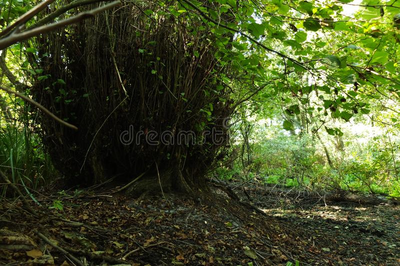 In a fabulous relic forest royalty free stock photo