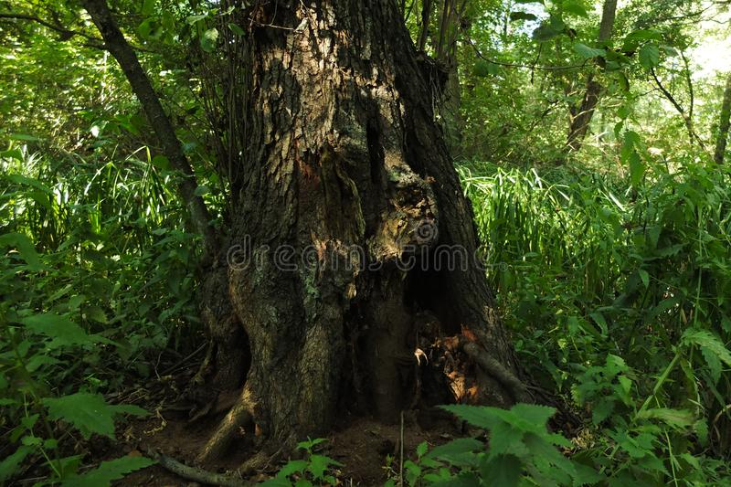 In a fabulous relic forest stock photography