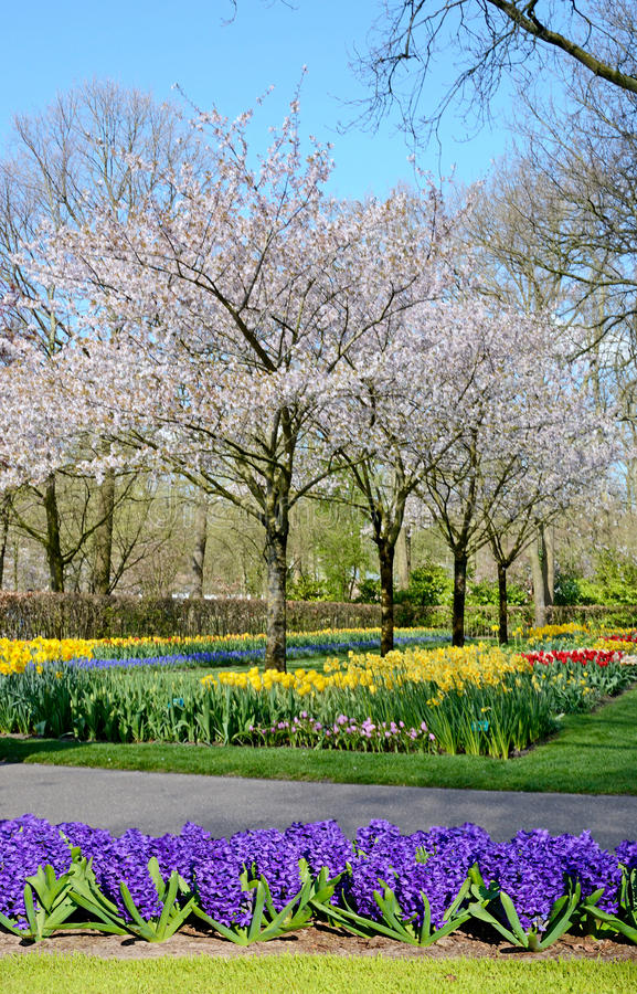 Fabulous spring landscape with hyacinth flowers in the park Keukenhof, Holland stock photography