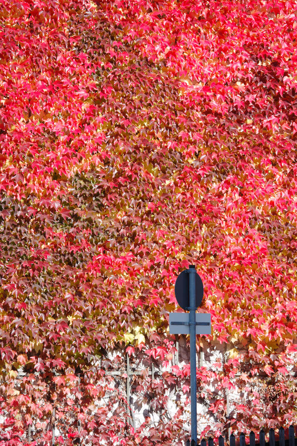 Facade with red ivy stock photos