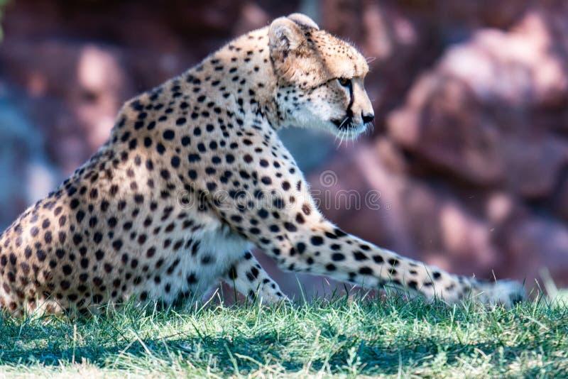 Faccia di Cheetah, Acinonyx jubatus, dettaglio ritratto da vicino di un gatto selvatico Mammifero più veloce del paese, Etosha NP immagine stock libera da diritti