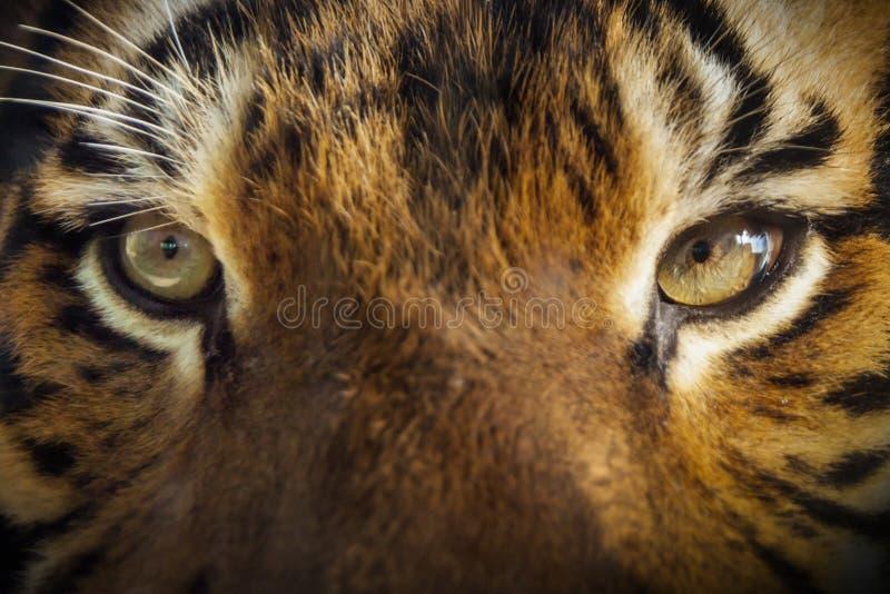 Faccia a faccia con la tigre malese potente immagine stock