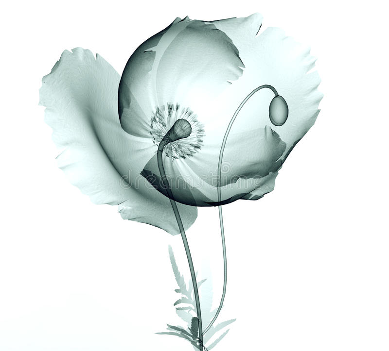 Faccia i raggi x dell'immagine di un fiore su bianco, il papavero fotografie stock