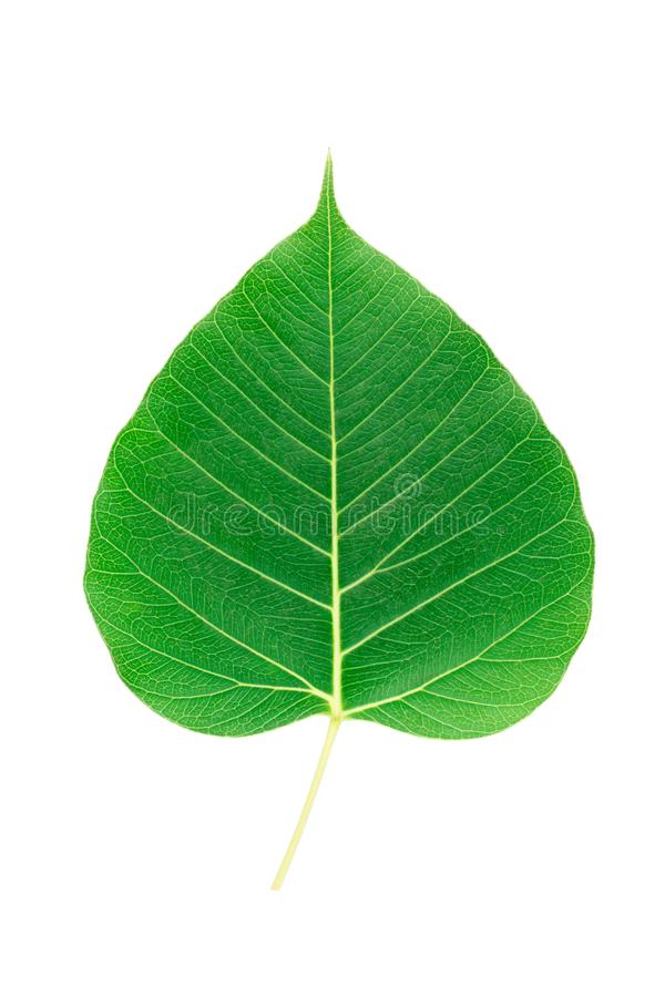 Facciata frontale della foglia verde di bodhi su fondo bianco fotografia stock