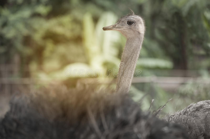 Face of the Adult Ostrich enclosure. Curious African Ostrich royalty free stock photos