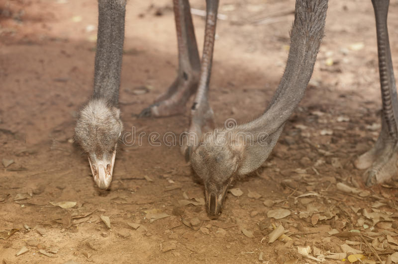 Face of the Adult Ostrich enclosure. Curious African Ostrich stock photography