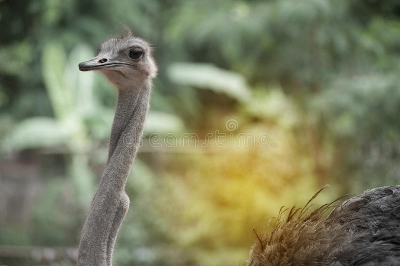 Face of the Adult Ostrich enclosure. Curious African Ostrich.standing in the park stock photo