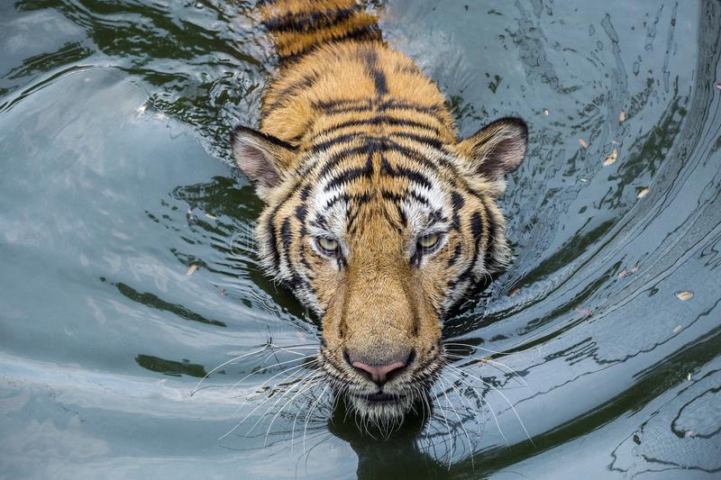Face of Asian tiger. stock photography