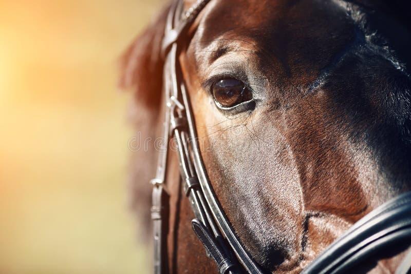 Face of a Bay horse with brown eyes closeup royalty free stock photos