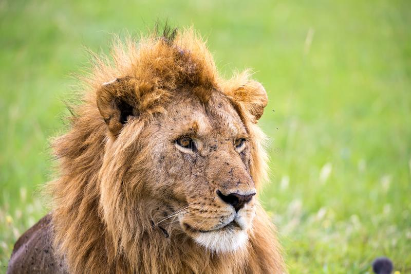 The face of a big lion in closeup stock photography