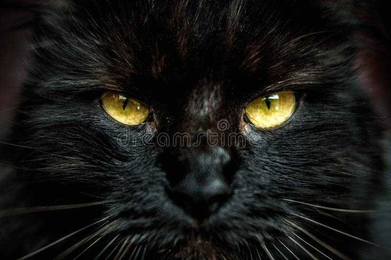 Face of black cat with yellow eyes. Front look of face of black furred cat with yellow eyes. Shallow depth of field stock images