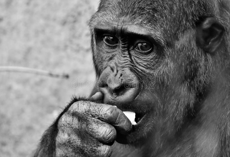 Face, Black And White, Mammal, Great Ape royalty free stock images