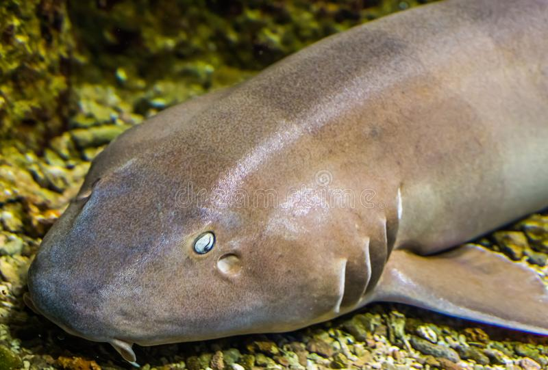 The face of a brown banded bamboo shark in closeup, tropical fish from the indo-pacific ocean. The face of a brown banded bamboo shark in closeup, a tropical royalty free stock image
