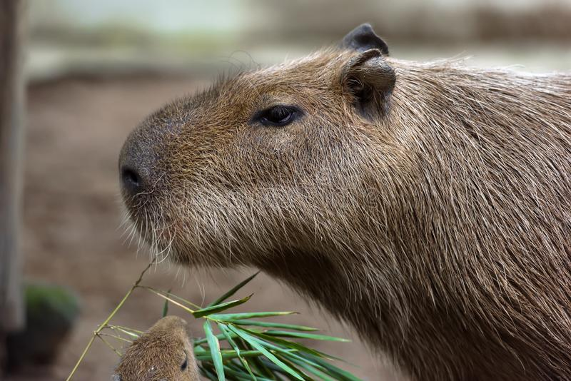 Close up of a capybara royalty free stock photos