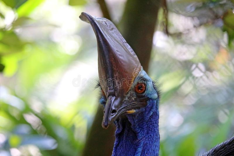 Cassowary face. The face of a cassowary, native to Australia and Papua New Guinea stock photos