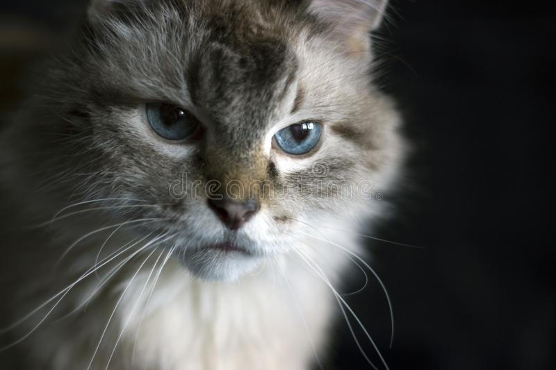Face of a cat staring intently, on black isolated background. Face of a cat staring intently on black isolated background stock image