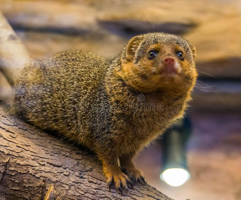 The face of a common dwarf mongoose looking into the camera, cute and popular pet, tropical animal from Africa. The face of a common dwarf mongoose looking into stock images