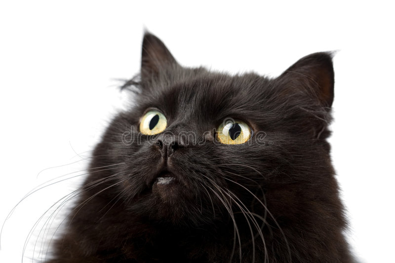 Face of cute black cat isolated. On white royalty free stock photo
