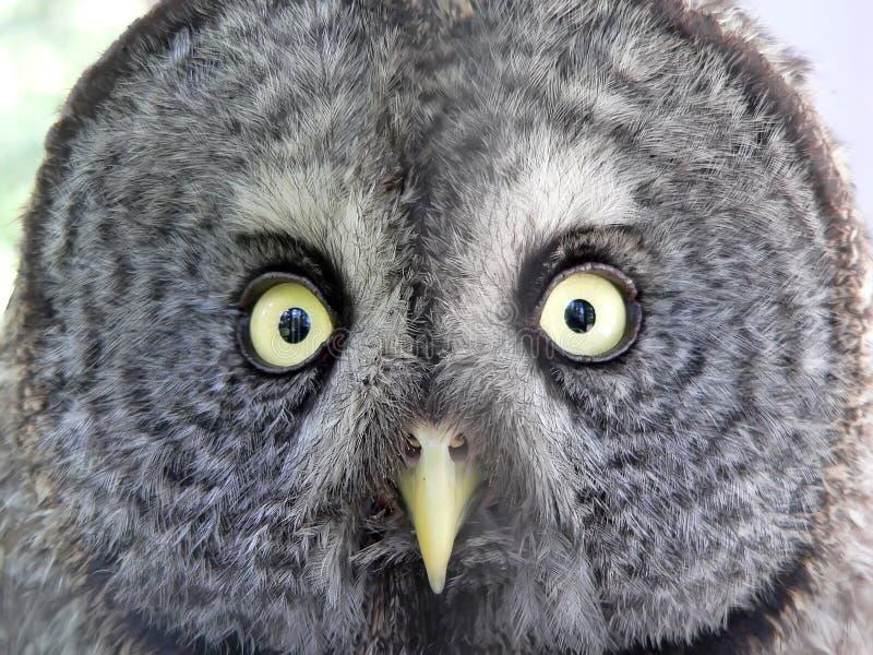 Face da coruja fotos de stock