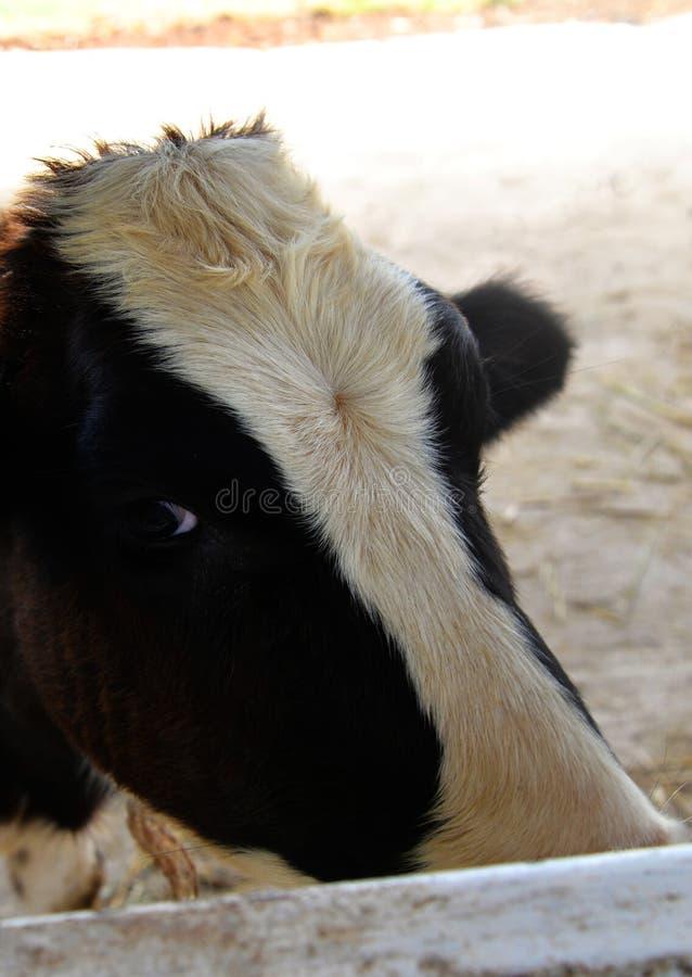 Face da vaca foto de stock