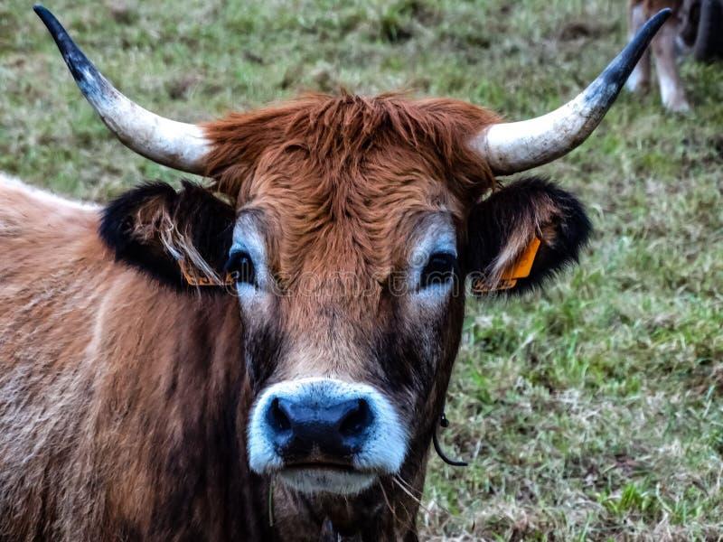 Face da vaca fotos de stock
