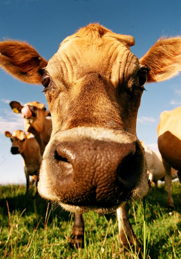 Cara da vaca de leiteria imagem de stock royalty free