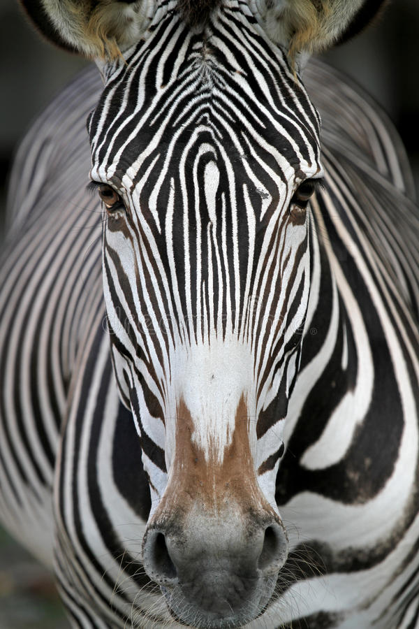 Face da zebra imagens de stock royalty free