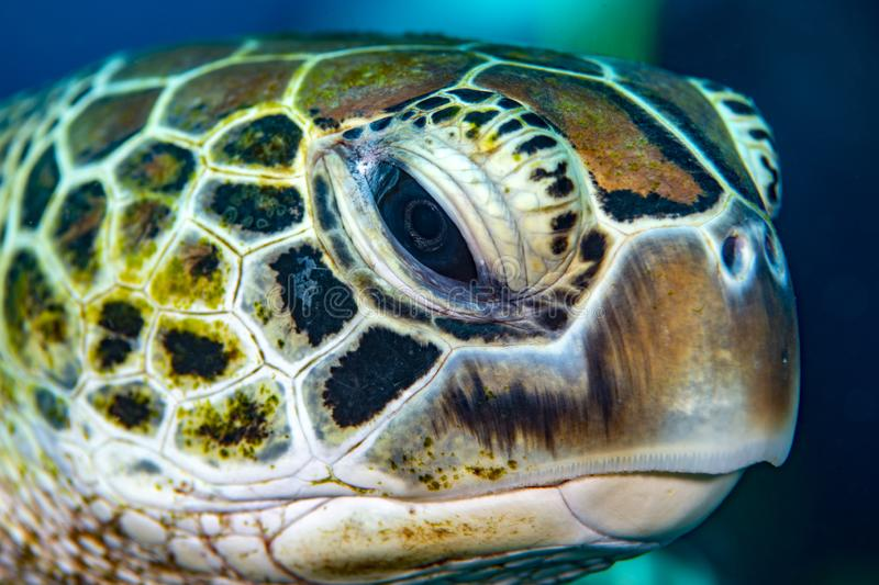 Face de tortue photo libre de droits