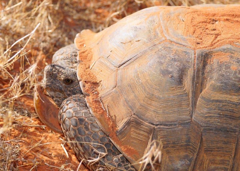 Face of a Desert Tortoise, Gopherus agassizi. Head and face of a turtle called a Desert Tortoise, Gopherus agassizi, an endangered large desert dwelling turtle royalty free stock photos