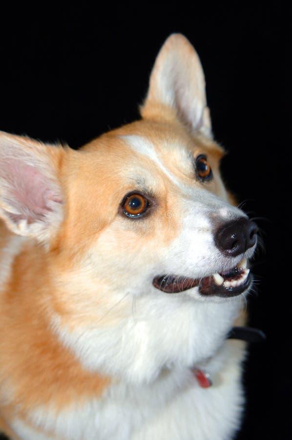 Face do cão do Corgi fotografia de stock royalty free