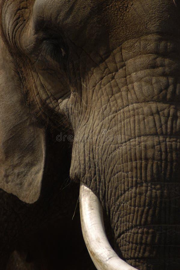 Face do elefante fotos de stock