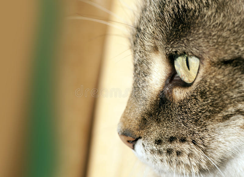Face Do Gato Foto de Stock Royalty Free