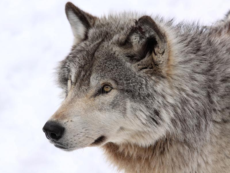 Face do lobo fotografia de stock
