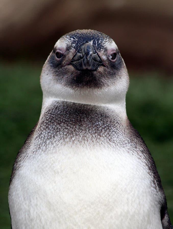 Face do pinguim imagem de stock