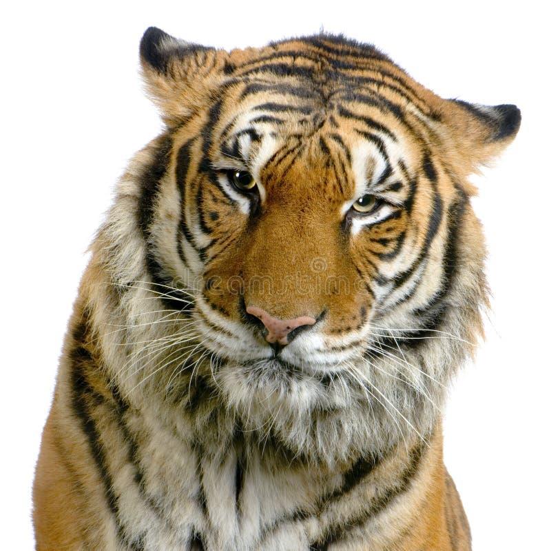 Face do tigre fotografia de stock