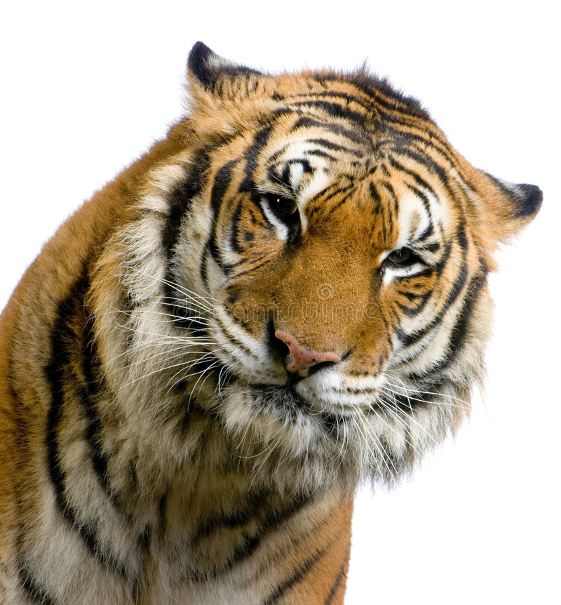 Face do tigre fotografia de stock royalty free