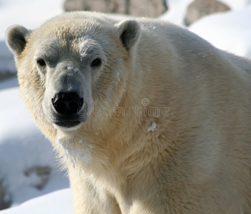 Face do urso polar fotos de stock royalty free